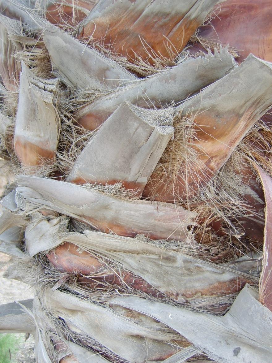 Spanish palms....